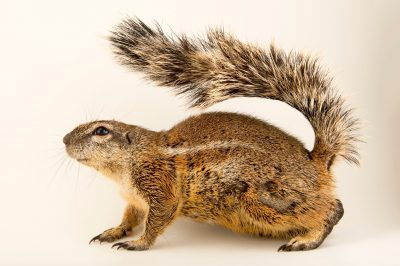 Photo: South African ground squirrel (Xerus inauris) at the Plzen Zoo in the Czech Republic.
