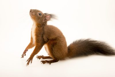 """Photo: A red squirrel (Sciurus vulgaris) at Centro Fauna Selvatica """"Il Pettirosso""""."""