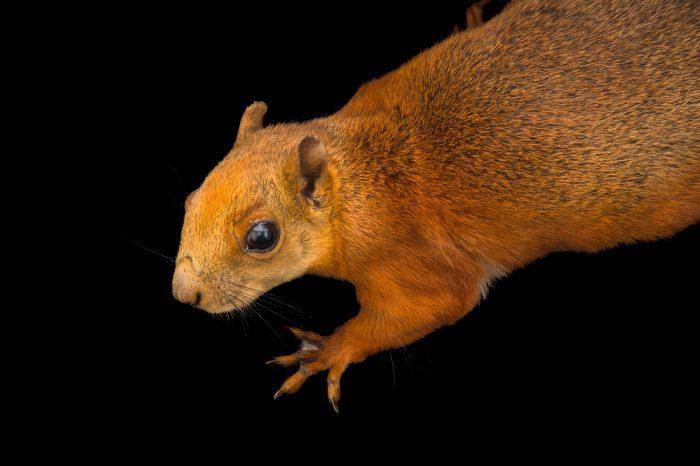 Photo: Red-tailed squirrel (Sciurus granatensis) at Parque Jaime Duque near Bogota, Colombia.