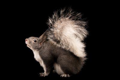 Photo: Abert's squirrel (or tassel-eared squirrel) (Sciurus aberti) at Liberty Wildlife.