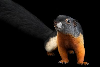 Photo: Prevost's squirrel (Callosciurus prevostii rafflesii) at the Los Angeles Zoo.