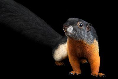 Photo: Prevost's squirrel (Callosciurus prevostii rafflesii) at the Los Angeles Zoo.