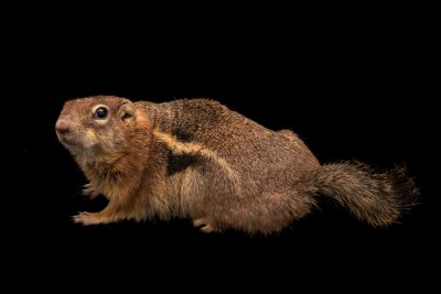 Photo: A male golden-mantled ground squirrel (Callospermophilus lateralis) at the hibernation study lab of Dr. Greg Florant at Colorado State University.