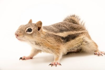 Photo: A female golden-mantled ground squirrel (Callospermophilus lateralis) at the hibernation study lab of Dr. Greg Florant at Colorado State University.