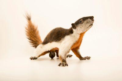 Photo: PrevostÕs squirrel (Callosciurus prevostii prevostii) at Zoo Negara.