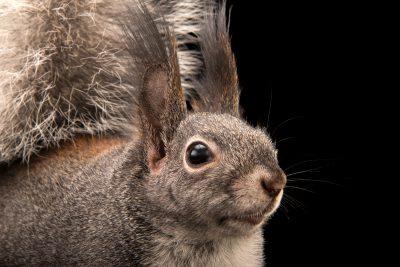 Photo: Abert's squirrel or tassel-eared squirrel (Sciurus aberti) at Liberty Wildlife.
