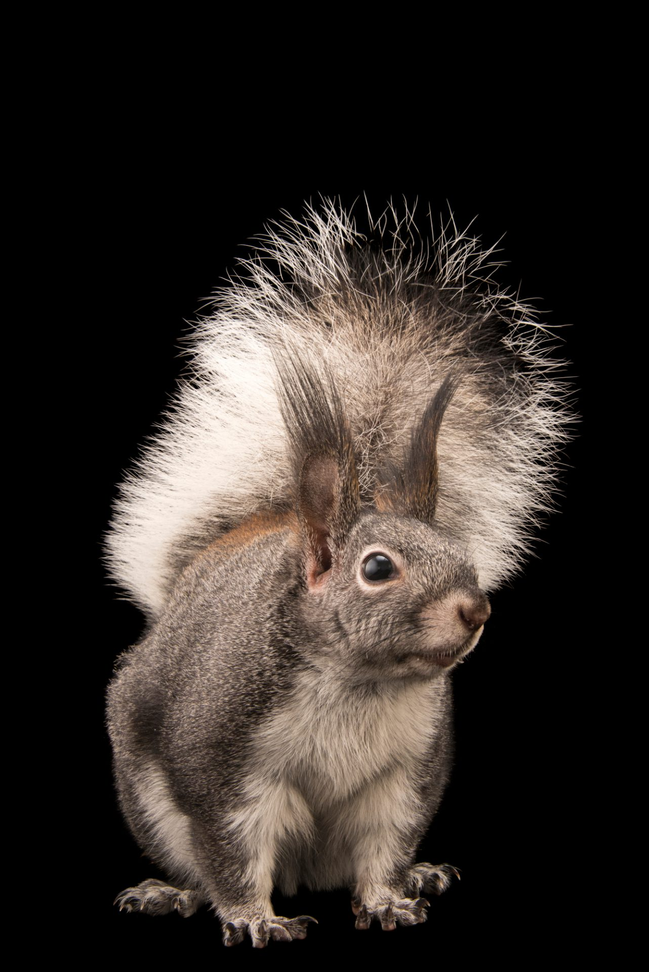 Photo: Abert's squirrel or tassel-eared squirrel (Sciurus aberti) at Liberty Wildlife.