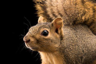 Pineywoods fox squirrel (Sciurus niger ludovicianus) at Liberty Wildlife.