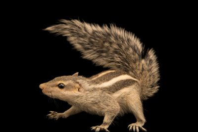 Photo: A five-striped palm squirrel (Funambulus pennantii) at the Moscow Zoo.