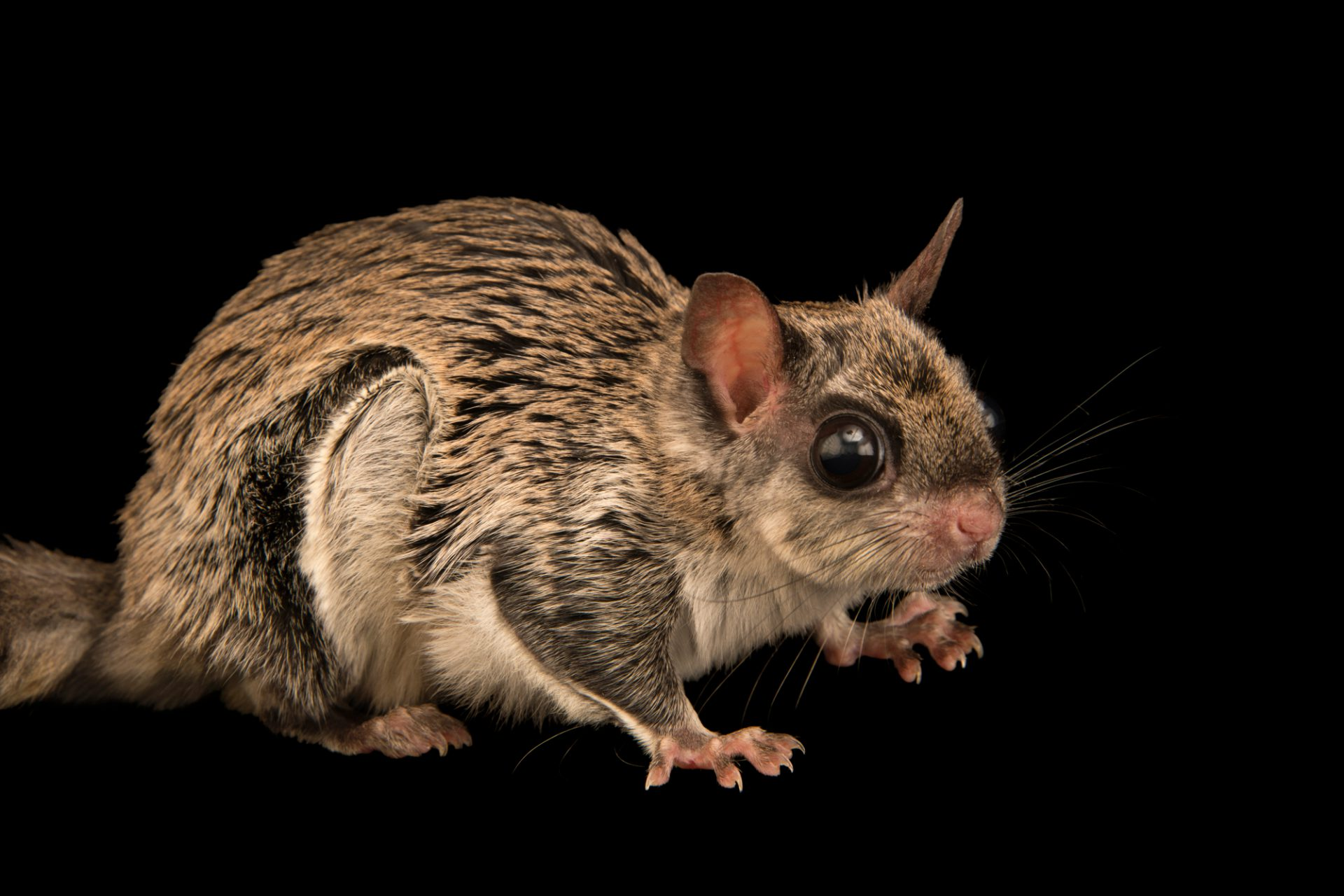 Photo: A particoloured flying squirrel (Hylopetes alboniger) at the Moscow Zoo.