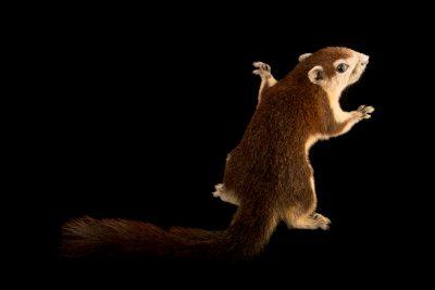 Photo: Finlayson's squirrel (Callosciurus finlaysoni) at Singapore Zoo.
