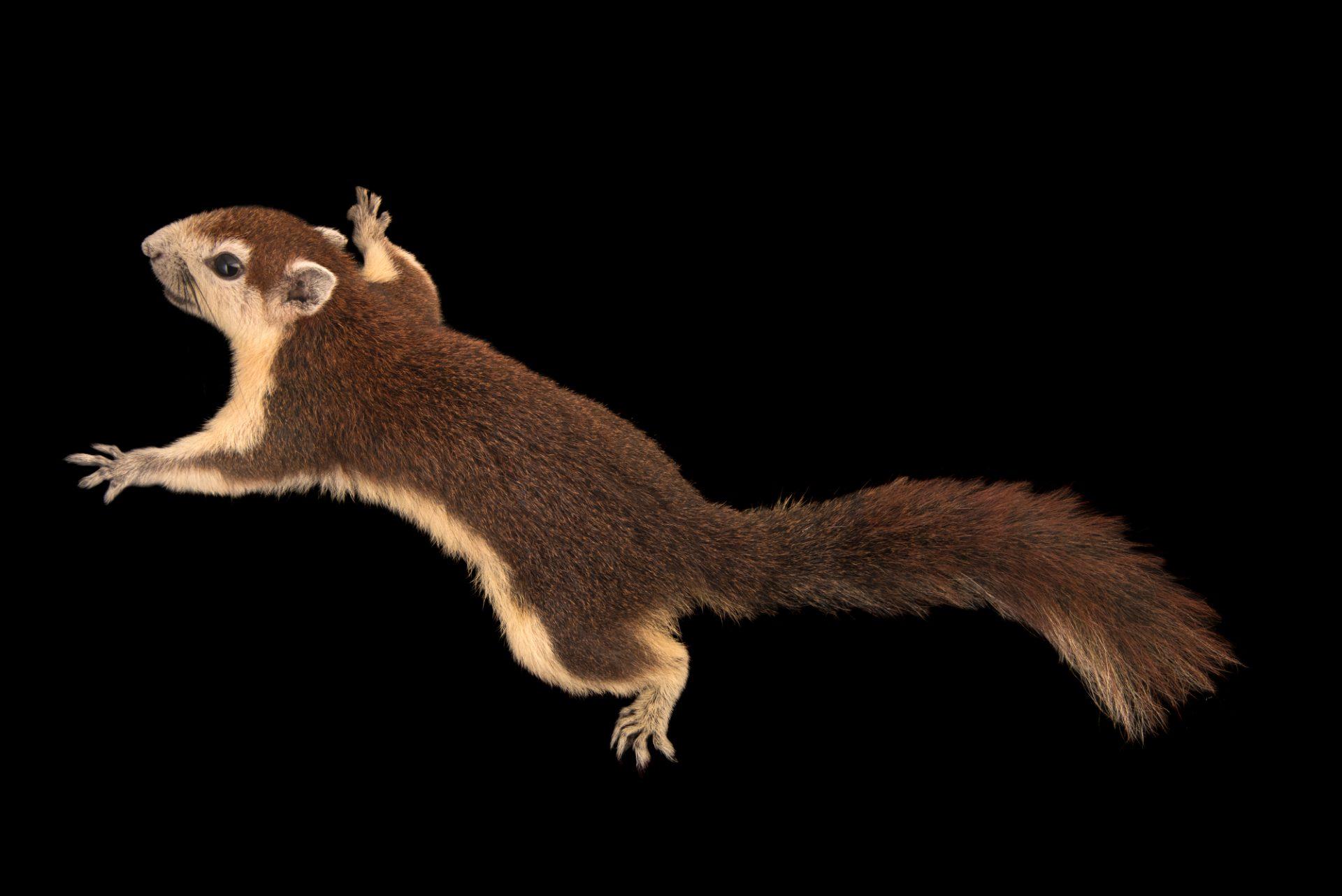 Photo: Finlayson's squirrel (Callosciurus finlaysonii) at the Singapore Zoo.