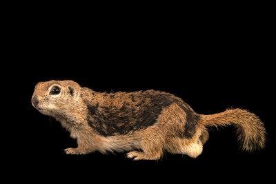 Photo: Round-tailed ground squirrel (Xerospermophilus tereticaudus) at the Arizona-Sonora Desert Museum.