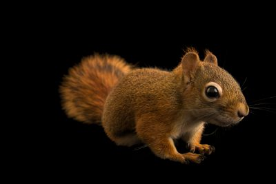 Photo: Red squirrel (Tamiasciurus hudsonicus minnesota) at Bay Beach Wildlife Sanctuary