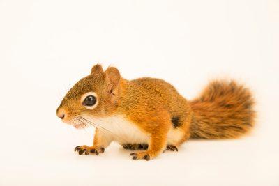 Photo: Red squirrel (Tamiasciurus hudsonicus minnesota) at Bay Beach Wildlife Sanctuary