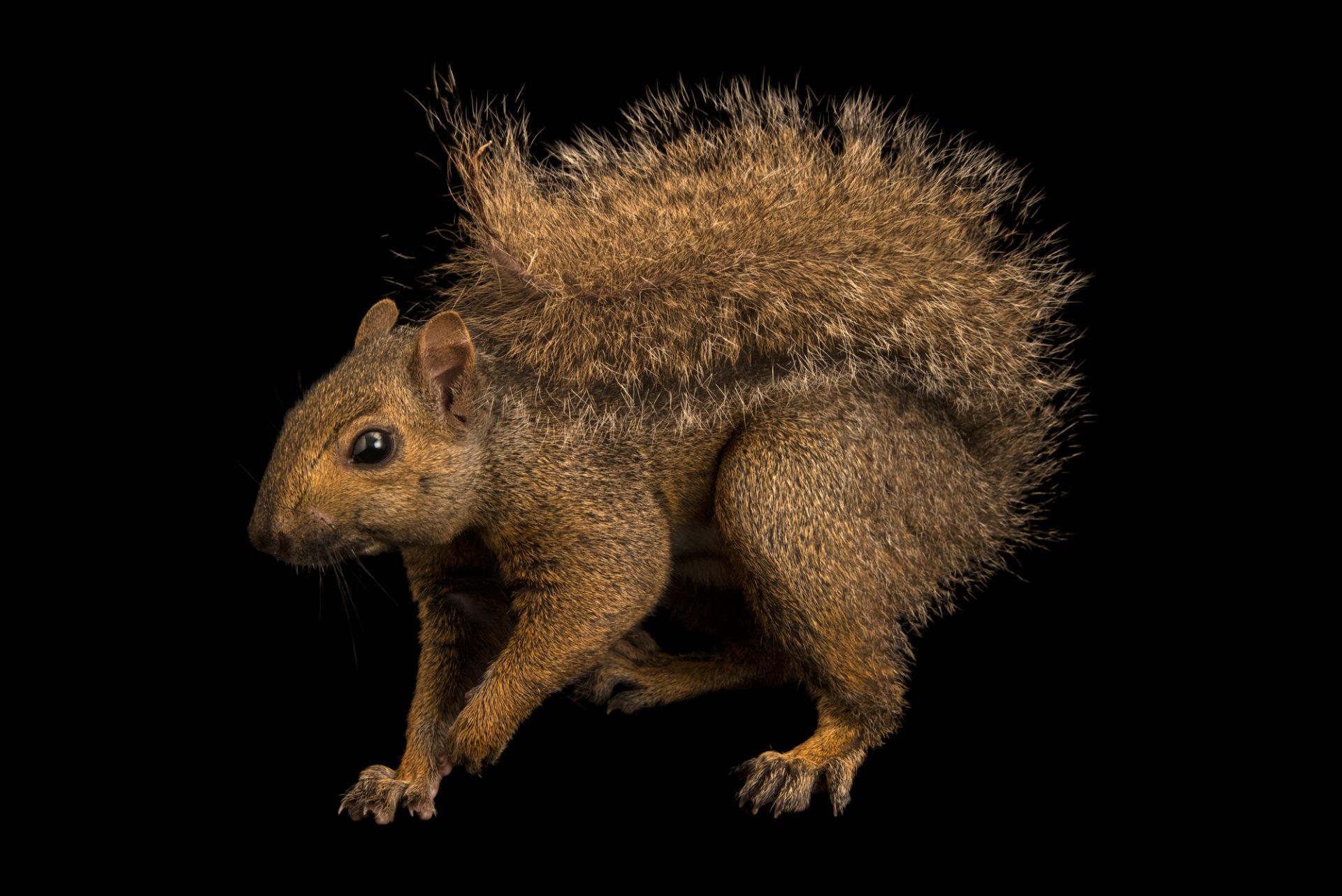 Photo: Grey squirrel (Sciurus carolinensis hypophaeus) at Bay Beach Wildlife Sanctuary