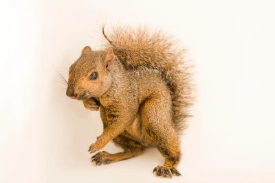 Photo: Grey squirrel (Sciurus carolinensis hypophaeus) at Bay Beach Wildlife Sanctuary