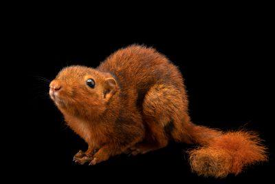 Photo: Mindanao squirrel (Sundasciurus mindanensis) at the Avilon Zoo.