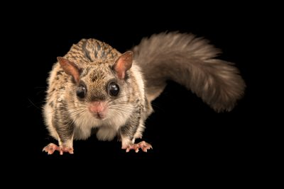 Photo: Particoloured flying squirrel (Hylopetes alboniger) at the Moscow Zoo.