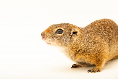 Photo: Southern Idaho ground squirrel (Urocitellus brunneus endemicus) at Zoo Boise