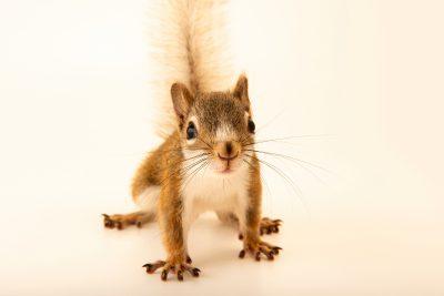 Photo: Red squirrel (Tamiasciurus hudsonicus minnesota) at the Wildlife Rehabilitation Center of Minnesota.