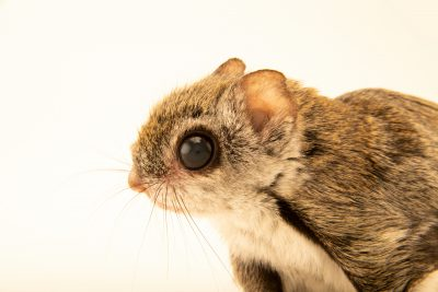 Photo: Siberian flying squirrel (Pteromys volans) at the Moscow Zoo. This species is listed as vulnerable by IUCN.