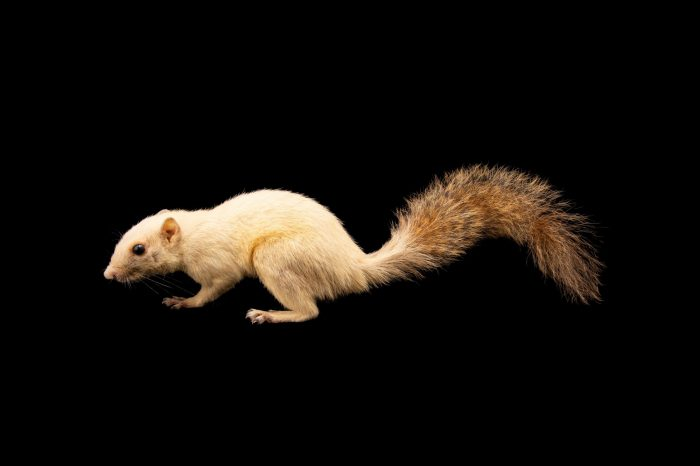 Photo: A Palawan white squirrel (Sundasciurus sp.) at the Avilon Zoo. This species is new to science, and as of yet, undescribed.