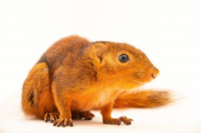 Photo: A Mindanao squirrel (Sundasciurus mindanensis) at the Avilon Zoo.