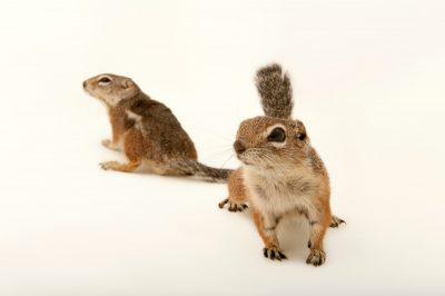 Photo: A pair of Harrison's antelope squirrels, (Ammospermophilus harrisii) at the LA Zoo.