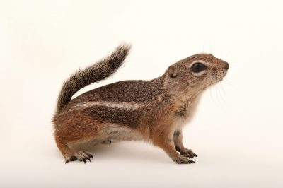 Photo: A Harrison's antelope squirrel (Ammospermophilus harrisii) at the LA Zoo.
