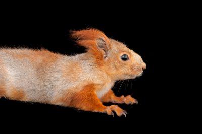 Photo: A Eurasian red squirrel (Sciurus vulgaris exalbidus) at the Miller Park Zoo.