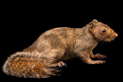 Photo: Philippine tree squirrel (Sundasciurus philippinensis) at Davao Crocodile Park.