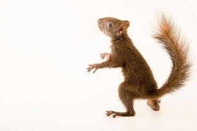 Photo: An European squirrel (Sciurus vulgaris alpinus) at the Wildlife Rescue Center of Rome (LIPU).