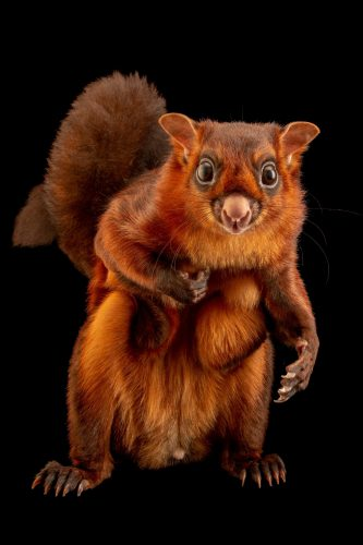 Photo: A giant red flying squirrel (Petaurista petaurista petaurista) at a private collection in Jakarta, Indonesia.