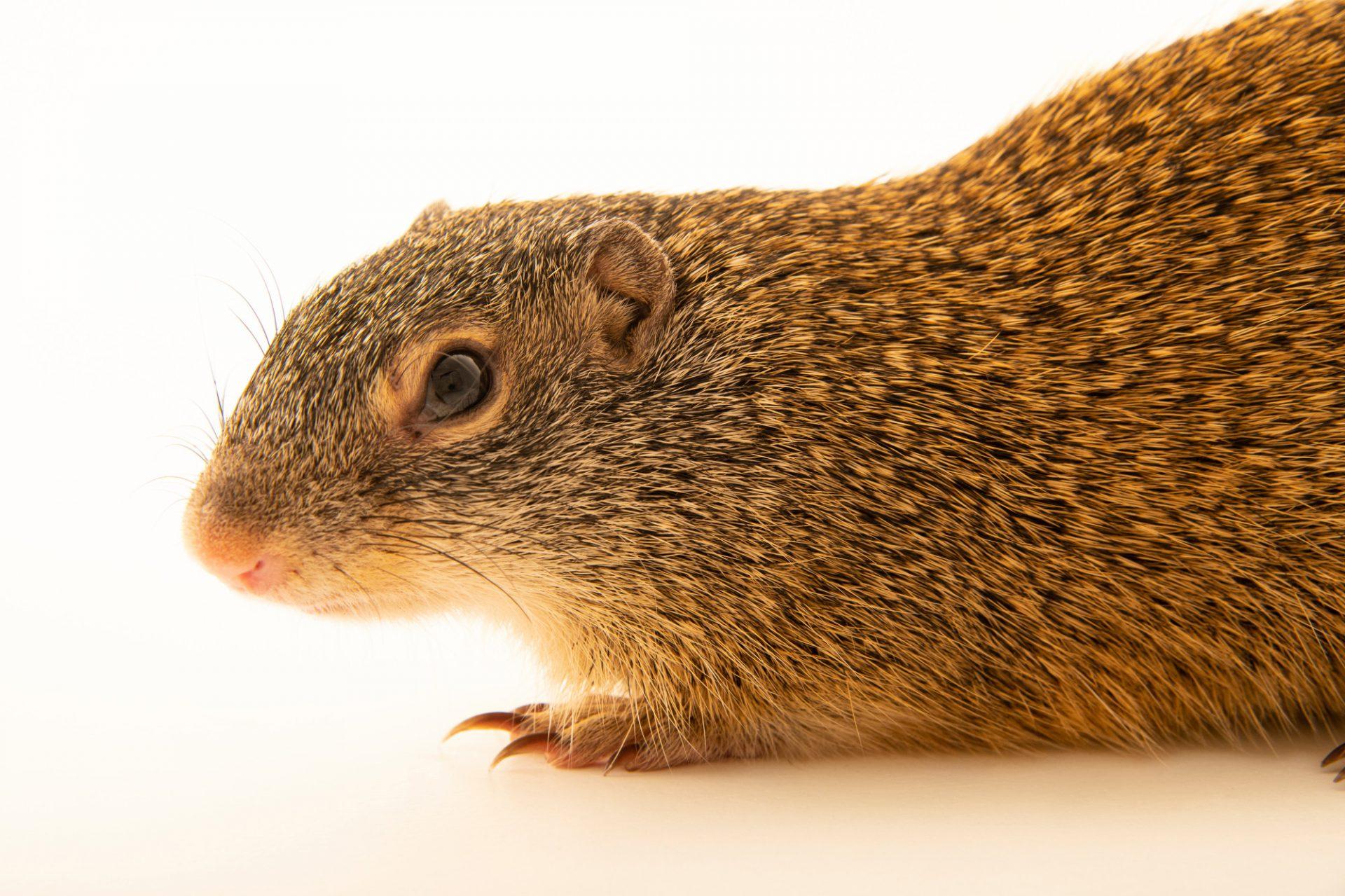 Photo: A FranklinÕs ground squirrel (Poliocitellus franklinii) at the Wildlife Rescue Center of Minnesota.