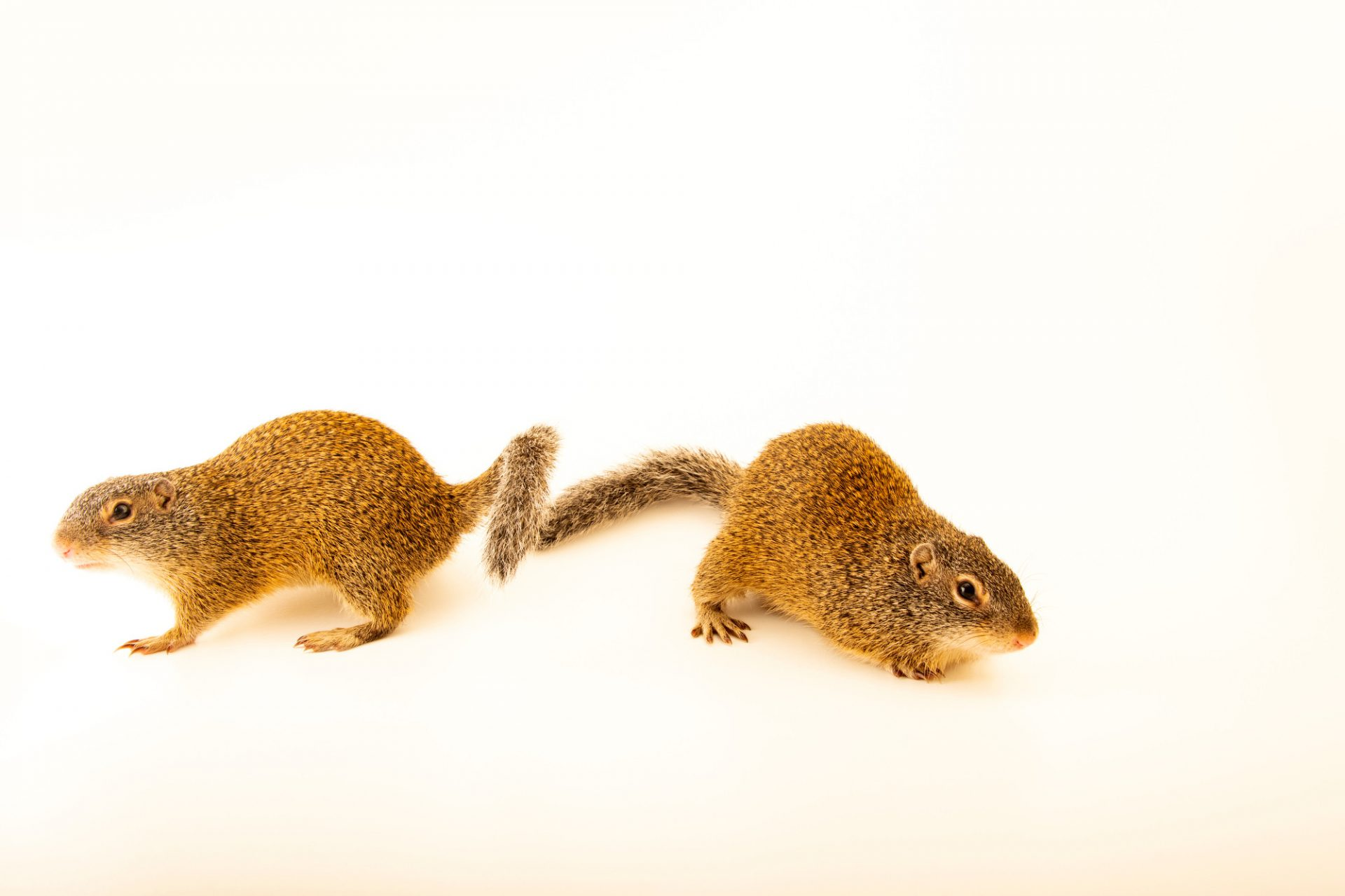 Photo: A pair of FranklinÕs ground squirrels (Poliocitellus franklinii) at the Wildlife Rescue Center of Minnesota.