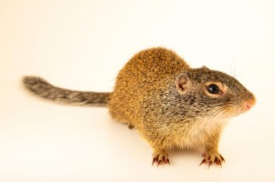 Photo: A FranklinÕs ground squirrel (Poliocitellus franklinii) at the Wildlife Rescue Center of Minnesota.