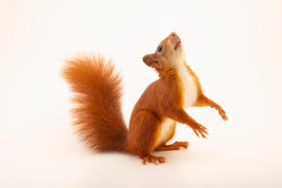 Photo: A Eurasian red squirrel, Sciurus vulgaris leucourus, at Wildwood Trust near Canterbury, England.