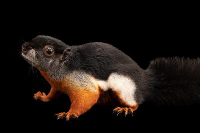 Photo: A Prevost's squirrel (Callosciurus prevostii bangkanus) at the Berlin Zoo.