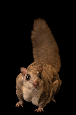 Photo: A female Humboldt's flying squirrel (Glaucomys oregonensis) at the Big Bear Alpine Zoo. This squirrel's name is Truffles.