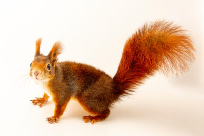 Photo: A red squirrel (Sciurus vulgaris fuscoater) at Zoopark Zajezd.