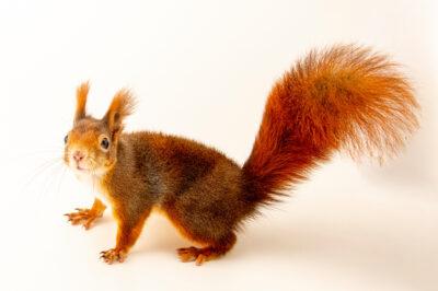 Photo: A red squirrel (Sciurus vulgaris fuscoater) at Zoopark Zajezd.