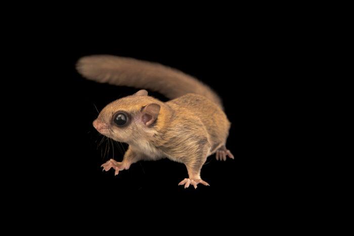 Photo: A Southern flying squirrel (Glaucomys volans texensis) at Houston SPCA's Wildlife Center of Texas.