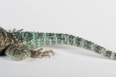 A crevice spiny lizard (Sceloporus poinsettii) at the Rolling Hills Wildlife Adventure in Salina, KS