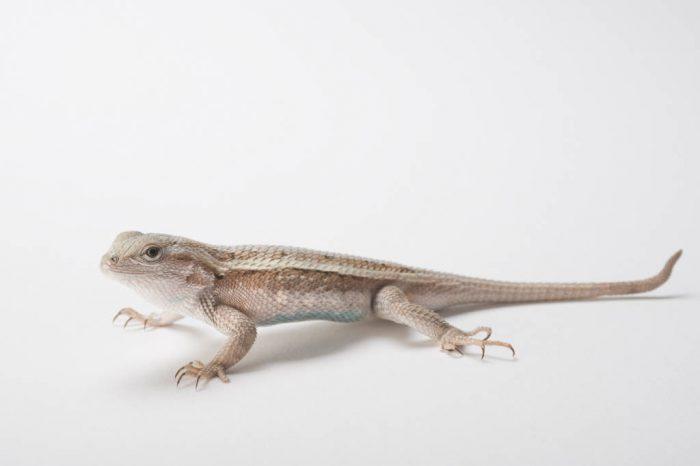 Photo: Northern prairie lizard (Sceloporus consobrinus) collected in Cherry County, Nebraska.