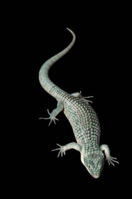 An aboreal alligator lizard (Abronia graminea) at the San Antonio Zoo. (IUCN: Endangered)
