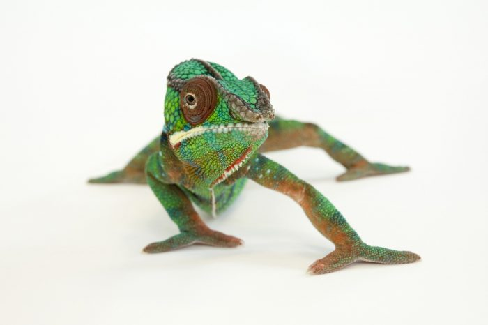 Picture of a panther chameleon (Furcifer pardalis) at the Lincoln Children's Zoo.