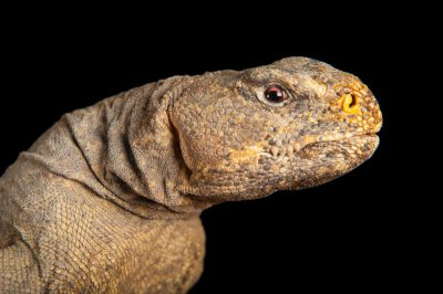 A vulnerable Egyptian Spiny-tailed Lizard (Uromastyx aegyptia)