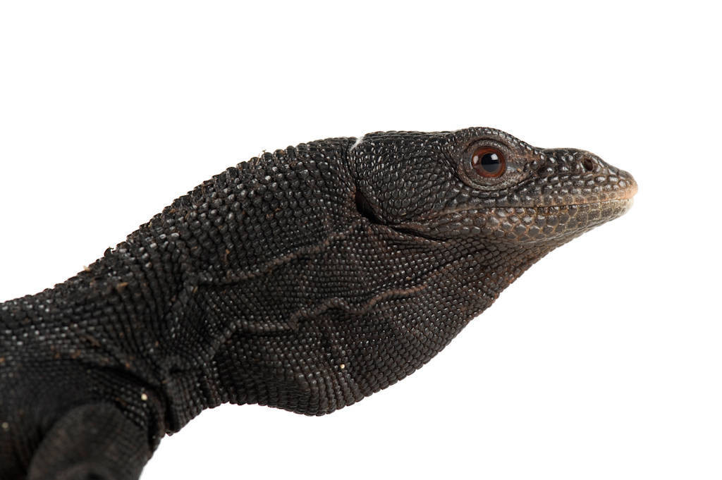 Photo: A black tree monitor lizard (Varanus beccari) at the Buffalo Zoo.