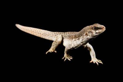 A Desert Iguana (Dipsosaurus dorsalis) at the Buffalo Zoo.